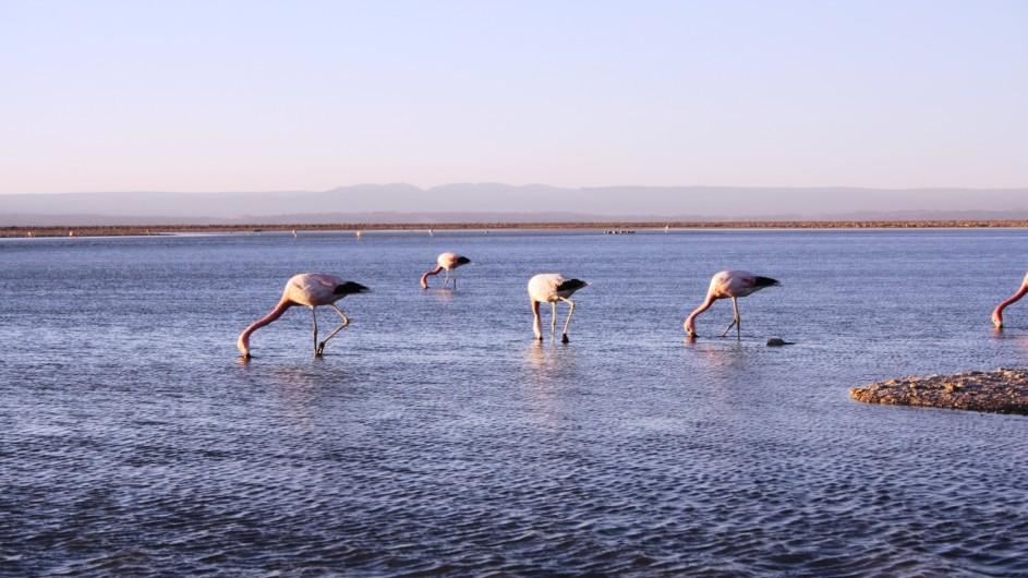 Chile Atacama Wüste Flamingos im Salzsee