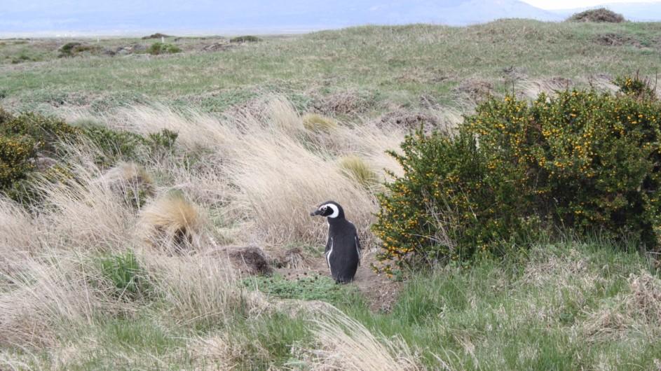 Chile Patagonien Otway Sound Pinguin