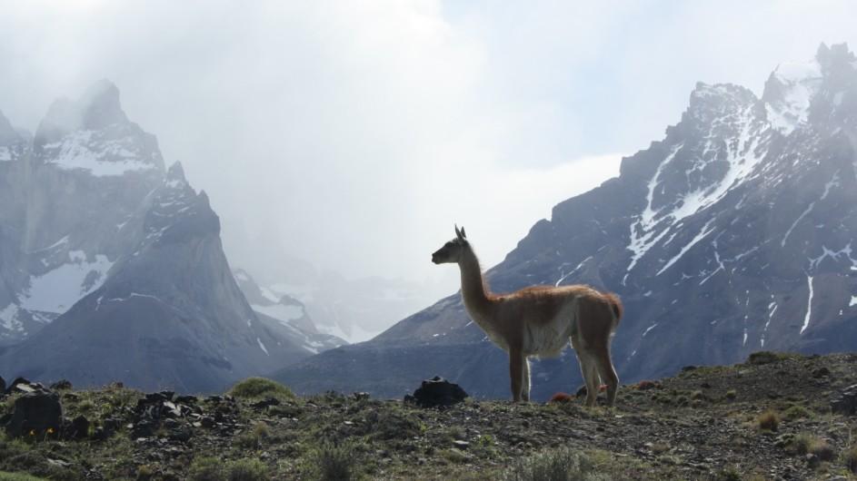 Chile Patagonien Torres del Paine Guanaco