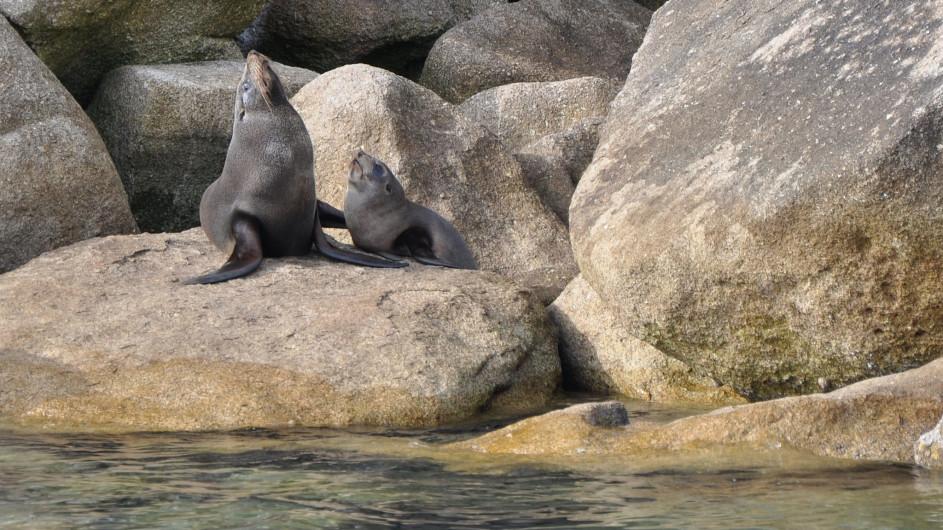 Neuseeland Abel Tasman Nationalpark Seehunde