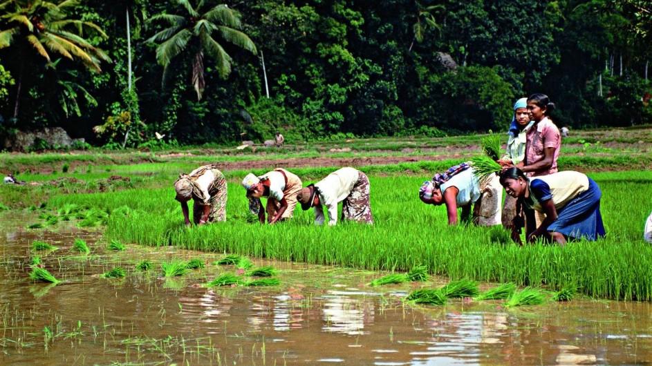 Sri Lanka Arbeiter auf dem Reisfeld