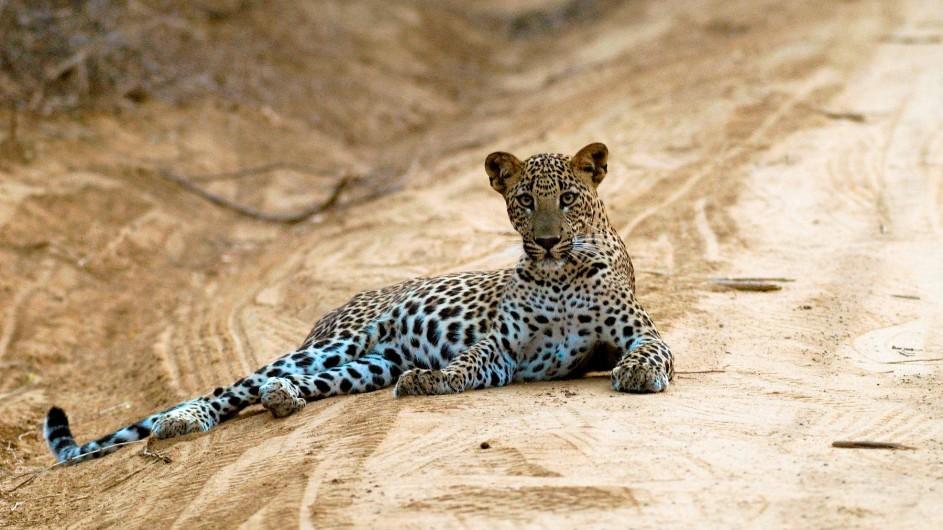 Sir Lanka Leopard