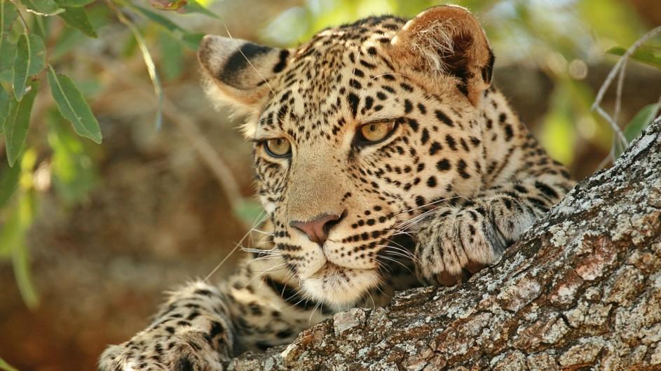 Botswana Wildlife Leopard