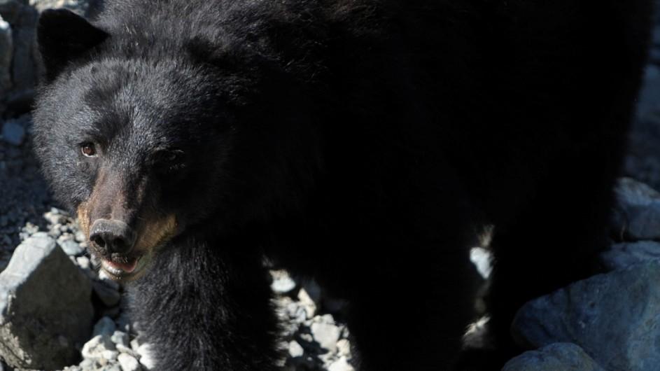 Kanada - Schwarzbär