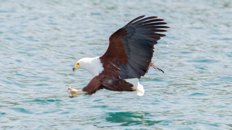 Malawi Cape Maclear Adler