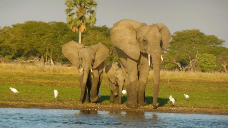 Malawi Liwonde NP Elefanten