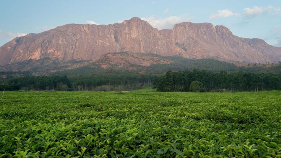 Malawi Mulanje Berge mit Teeplantage