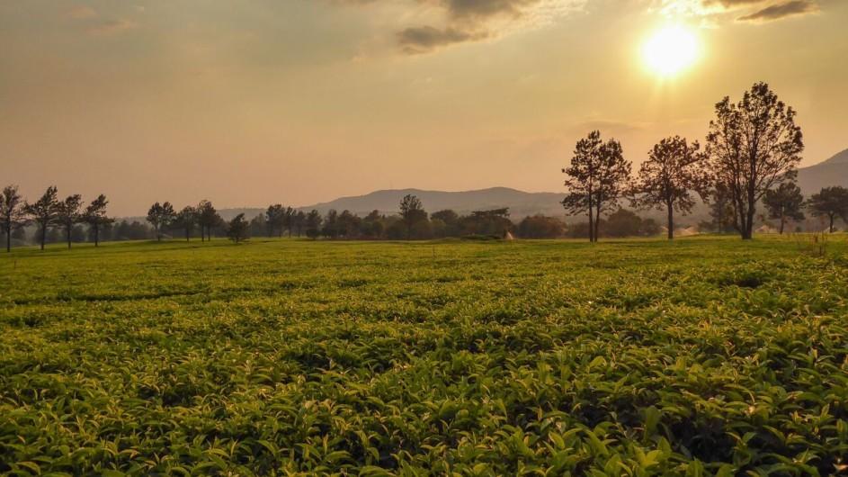 Malawi Mulanje Berge Teeplantage