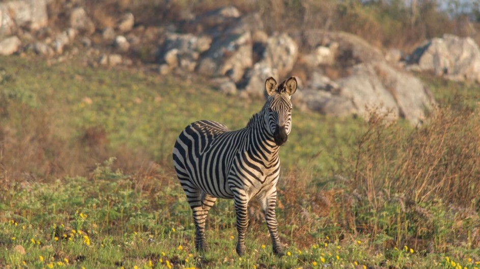 Malawi Nyika Pleateau Zebra
