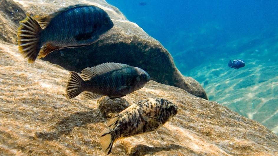 Malawi Pumulani Fische im Lake Malawi