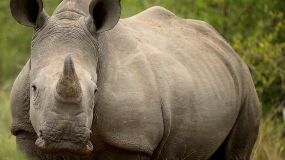Südafrika . Nashorn im Krügerpark