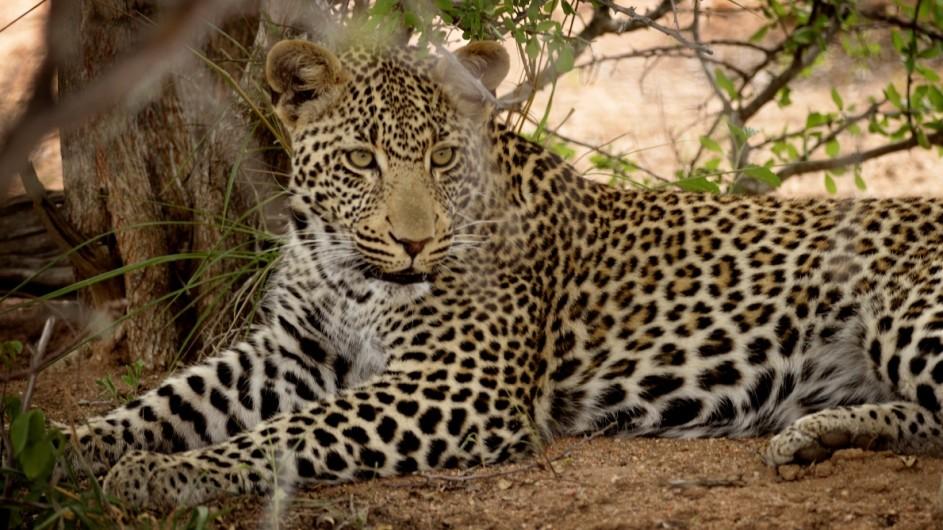 Südafrika Leopard