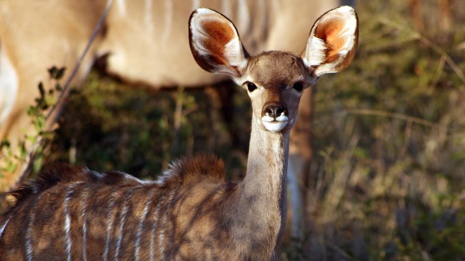 Südafrika Madikwe Kudu