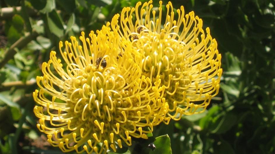 Südafrika Protea Gelb