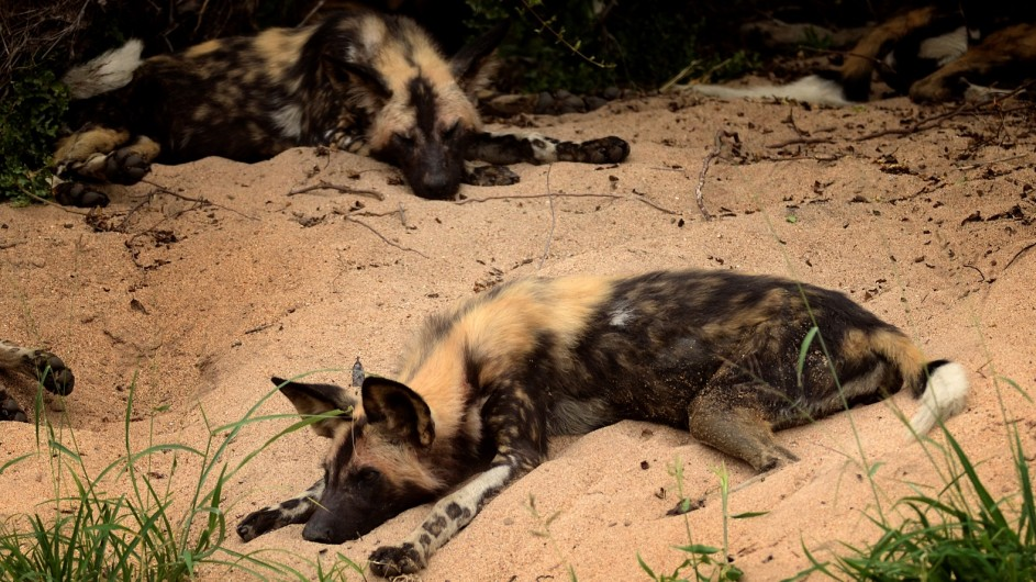 Südafrika Wild Dog1
