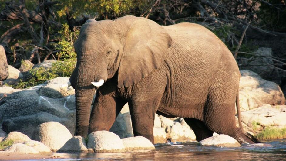 Zambia Elefant im Fluss