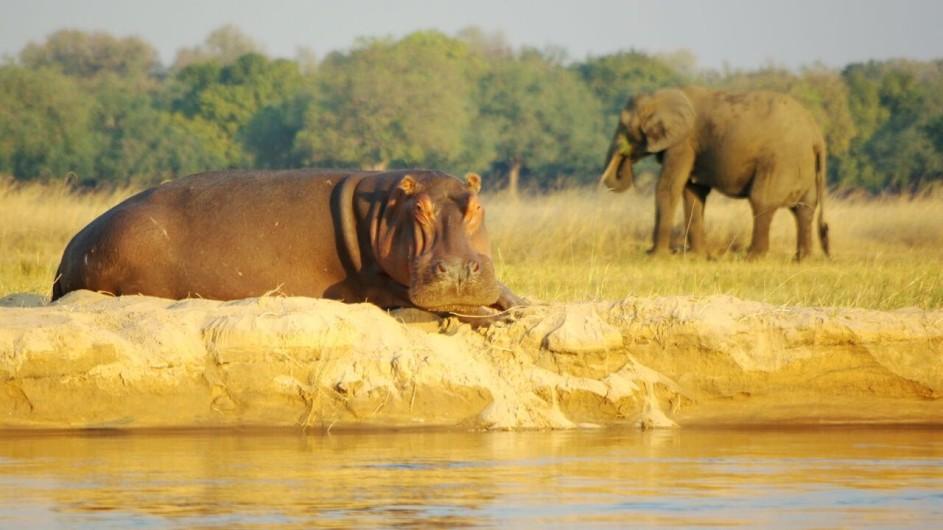 Zambia Elefant und Nilpferd am Fluss