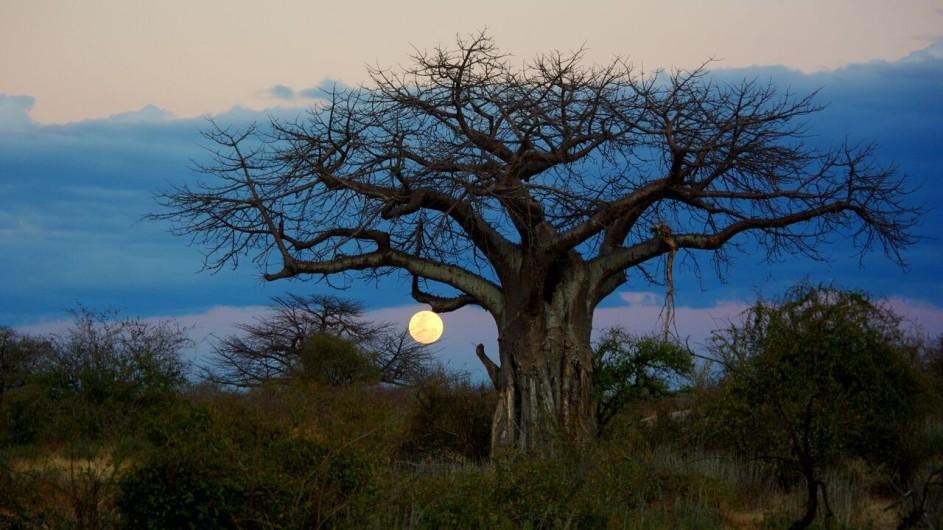 Zambia Mondaufgang Affenbrotbaum
