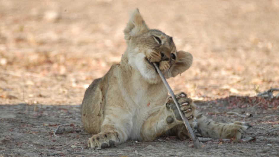 Zambia Löwenkind