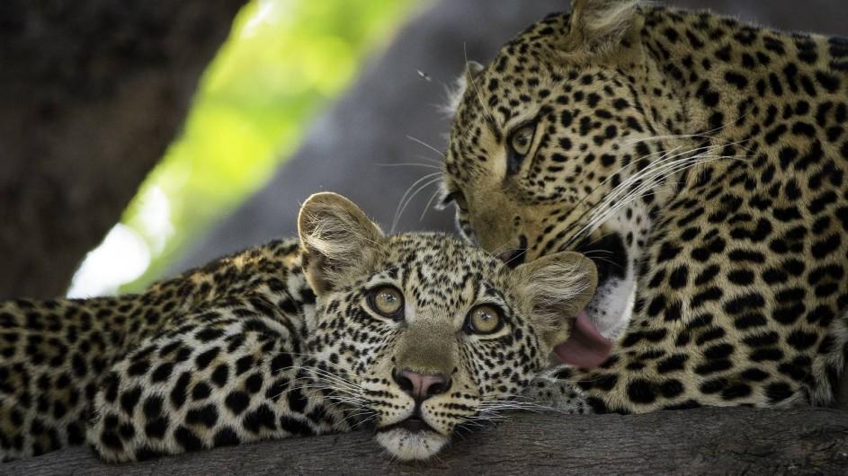 Zambia Leoparden