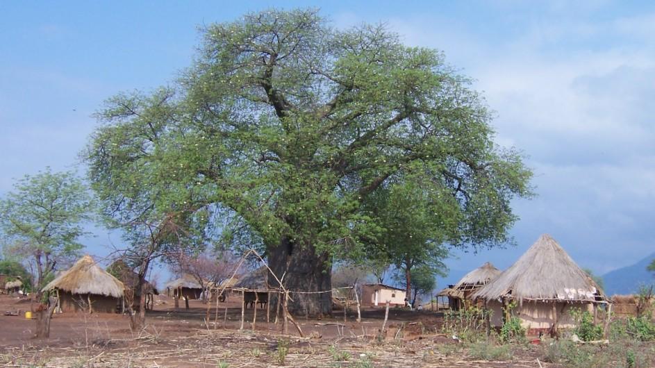 Zambia Baobab