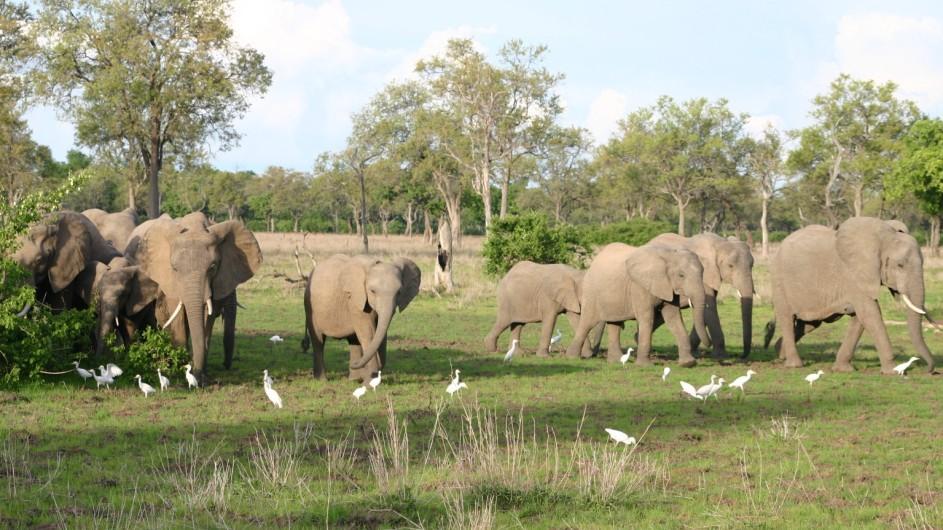 Zambia Elefanten