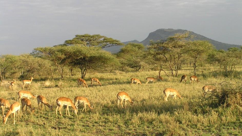 Zambia Impalas