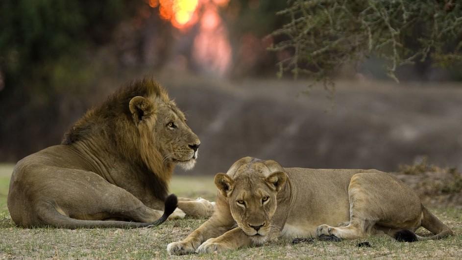 Zambia Wandersafari Löwen