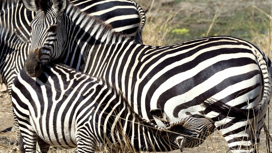 Zambia Zebras