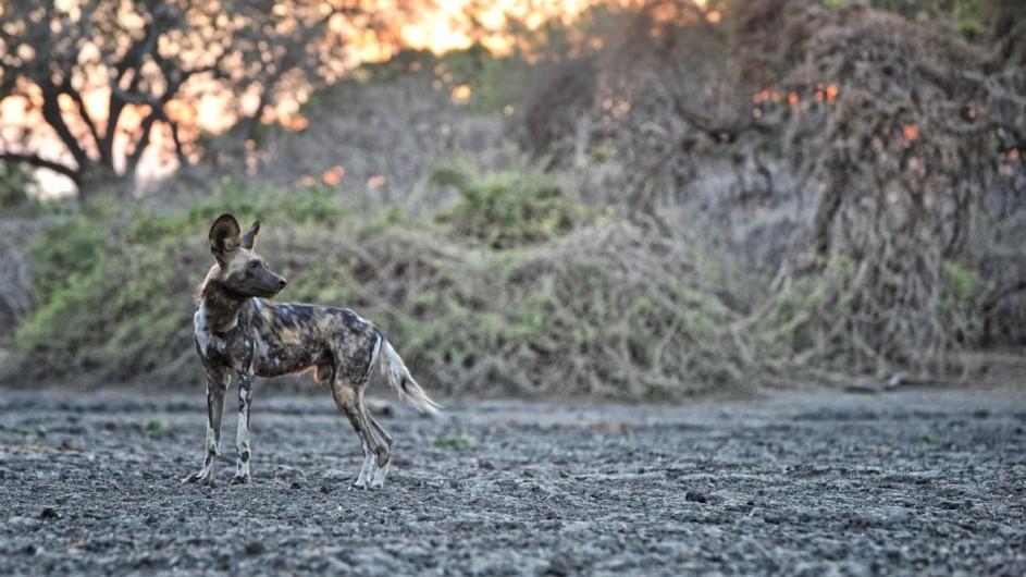 Zimbabwe Kanga Camp Wildhund