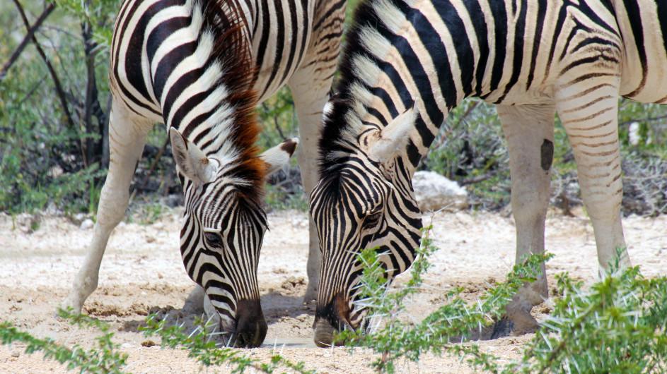 Namibia Zebras im Etosha Nationalpark