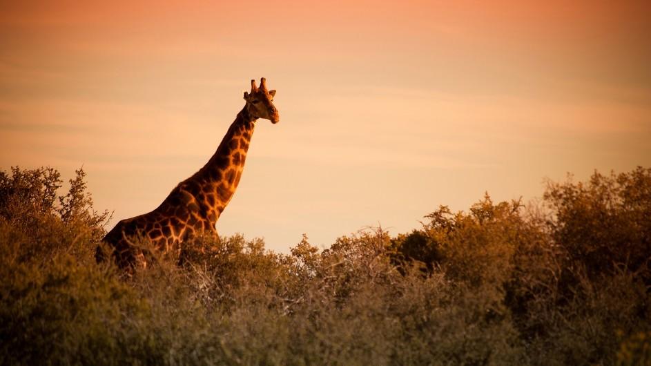 Tanzania Buffelsdrift Game Lodge Giraffe