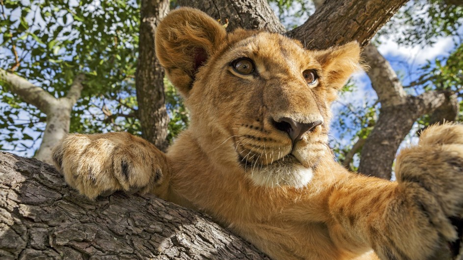Tanzania Löwe