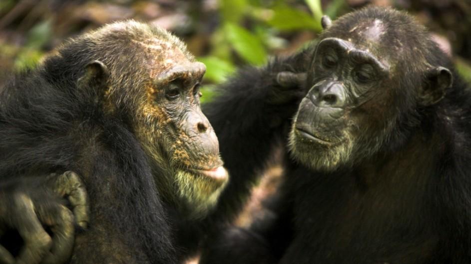 Tanzania Greystoke Mahale Lodge Chimpansen