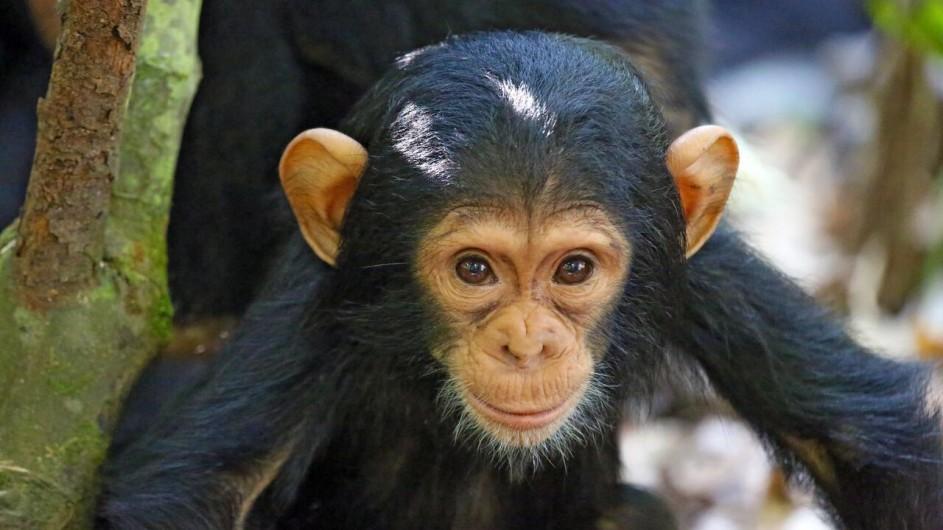 Tanzania - Mahale NP - Kungwe Beach Lodge - Chimpansenbaby