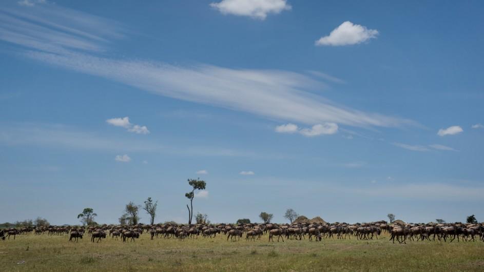 Tanzania Serengeti Asilia Lodges Gnus