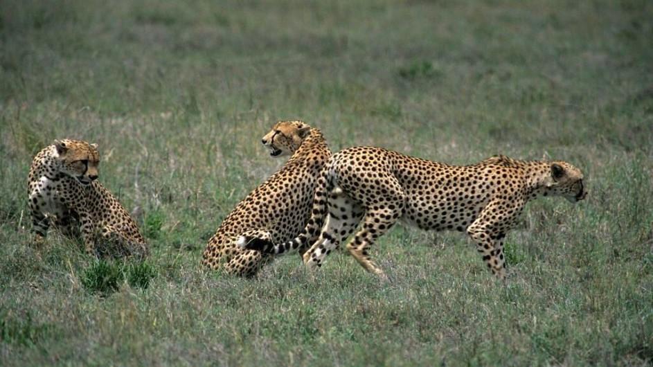 Tanzania Serengeti Ronjo Camp Geparden