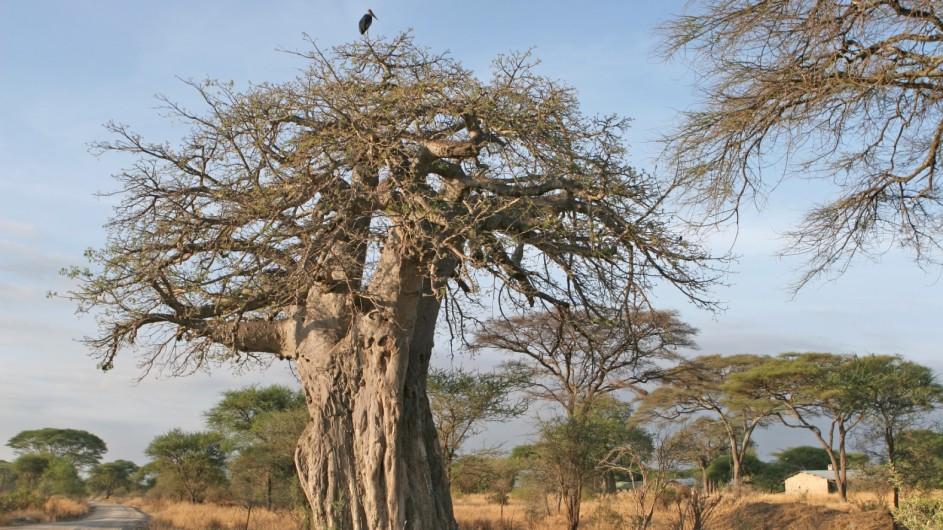 Tanzania Experience Baobab