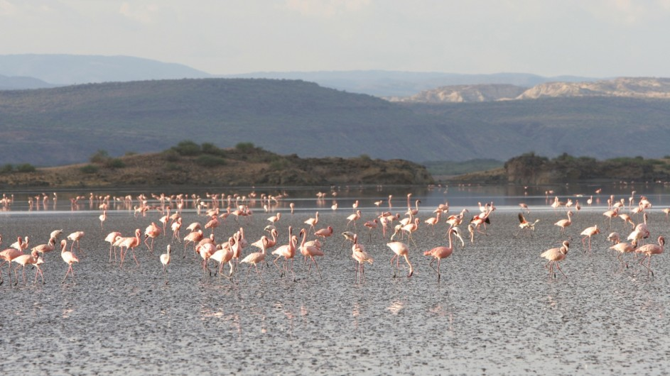 Tanzania Flamingos