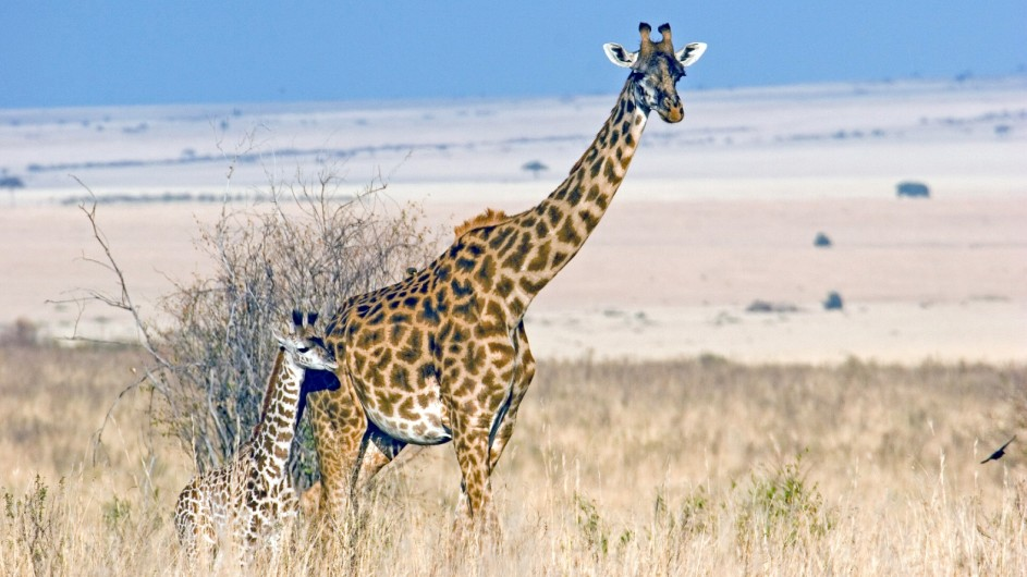 TAnzania Experience Giraffen