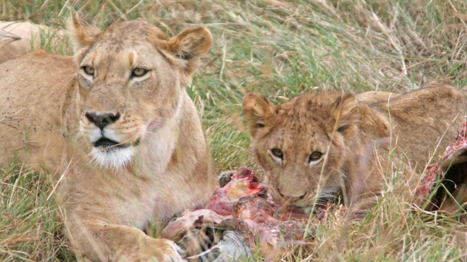Tanzania Löwen beim Fressen