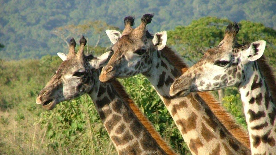 Tanzania Tarangiere Nationalpark Maweniga Camp Giraffen