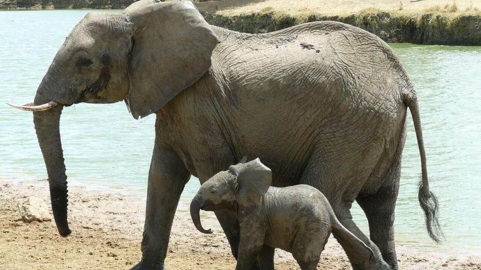 Tanzania Elefant mit Baby