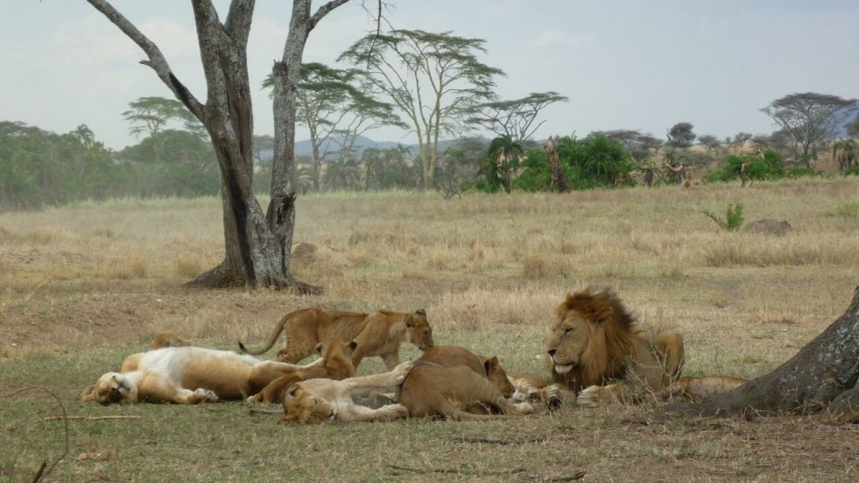 Tanzania Selous Game Reserve Löwen