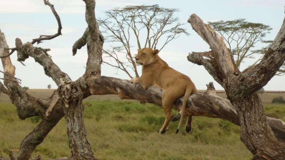 Tanzania Serengeti Löwe