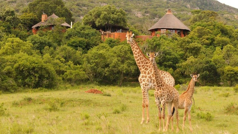 Südafrika Krüger Nationalpark Leshipa Wilderness Lodge Giraffen