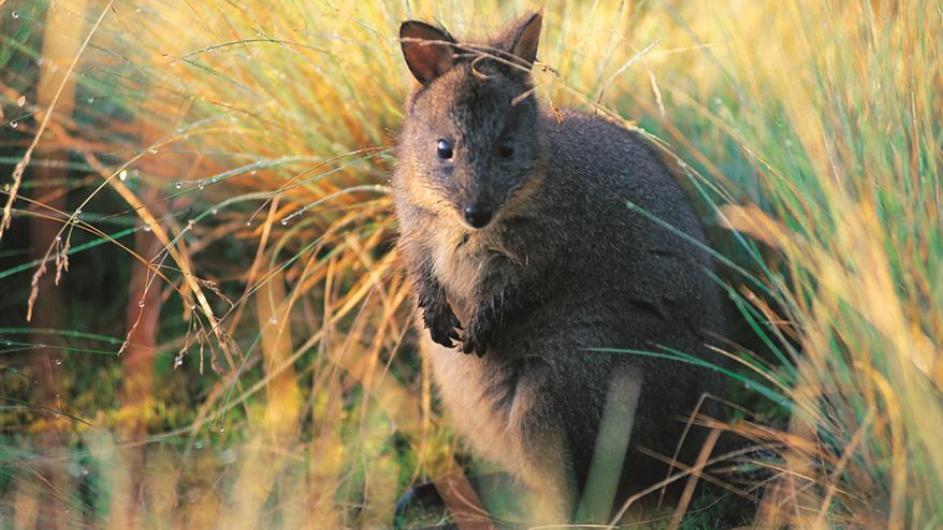 Australien Tasmanien Peppers Cradle Mountain Lodge Wildlife