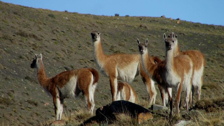 Chile Torres del Paine Patagonia Camp Guanacos