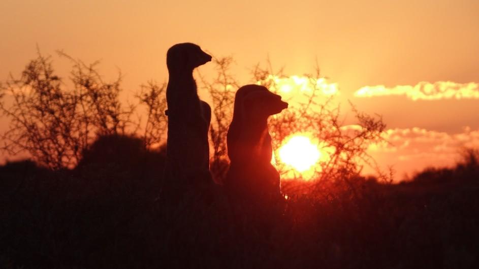 Südafrika Oudtshoorn De Zeekoe Fästefarm Erdmännchen