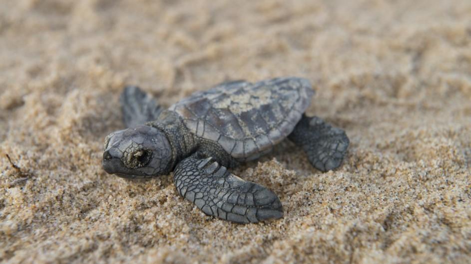 Südafrika Rocktail Beach Camp Schildkröte